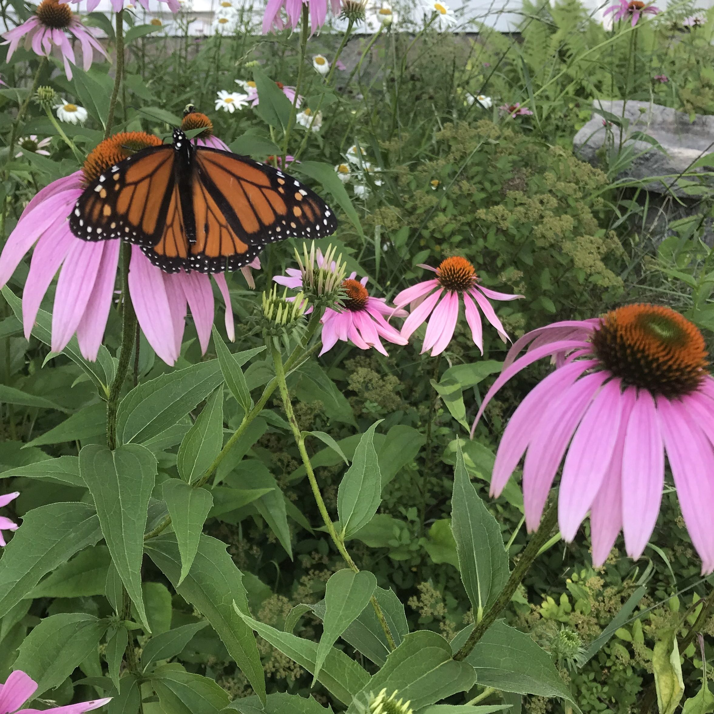 A monarch butterfly perches on a purple coneflower in a garden of coneflowers.